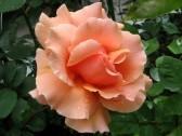 10763284-rose-beauty[1] By 123rf.com