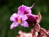 11041022-pink-orchid[1] By 123rf.com
