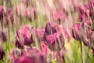 6418238-rain-on-tulip-of-purple-color-in-garden[1] By 123rf.com