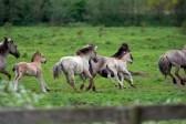 13594224-running-wild-horses-in-spring[1] By 123rf.com